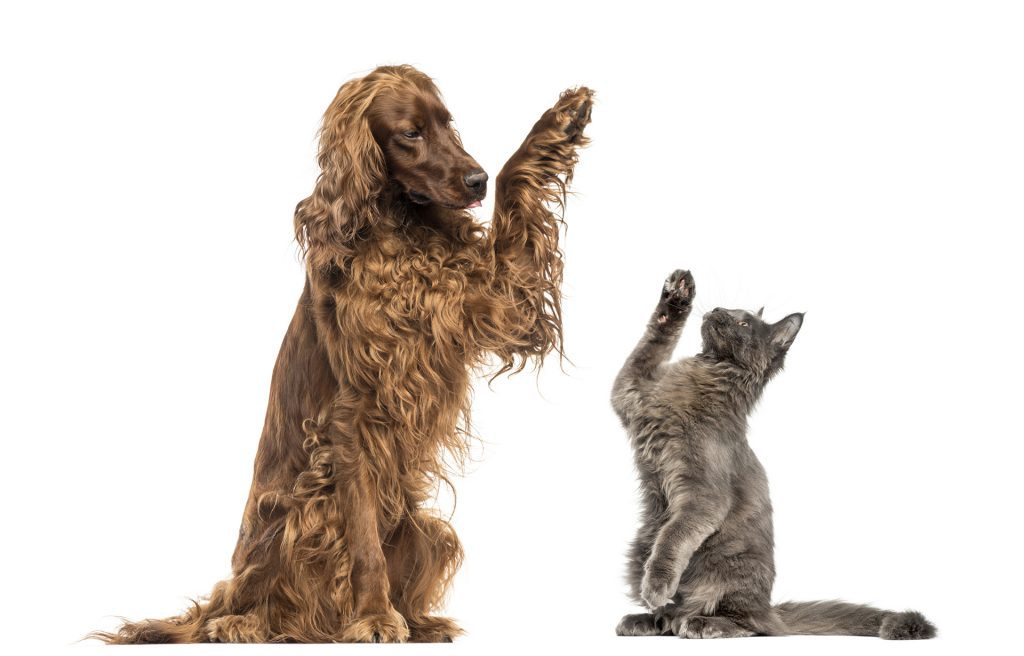 Irish setter and Maine Coon kitten high-fiving